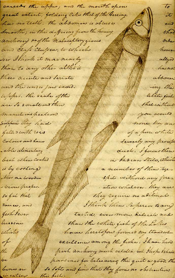 A page from Lewis' journal with a sketch of a candlefish